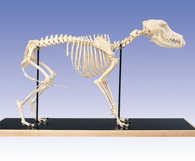 Dog Skeleton, Mounted